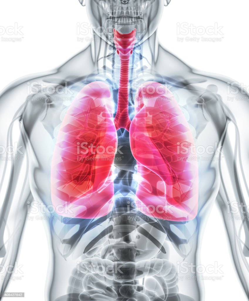 3D illustration of Lungs, medical concept. stock photo