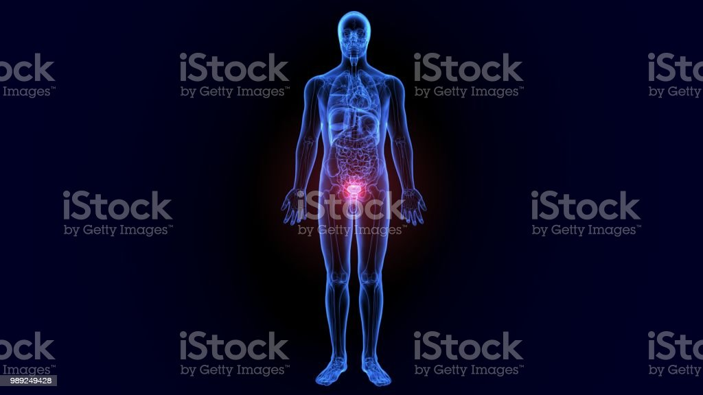 3d Illustration Of Male Reproductive System Anatomy Stock Photo