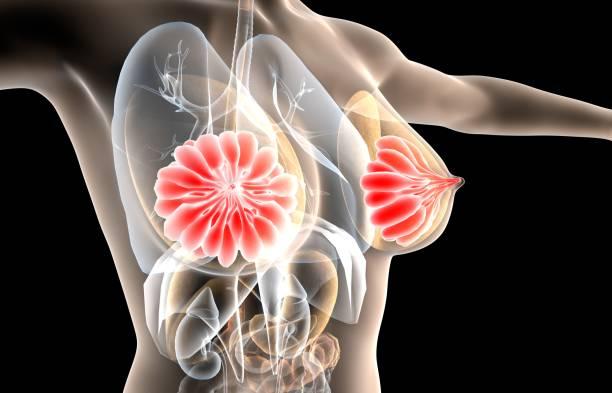 ilustração 3d da glândula mamária, anatomia fêmea do peito - tronco termo anatômico - fotografias e filmes do acervo