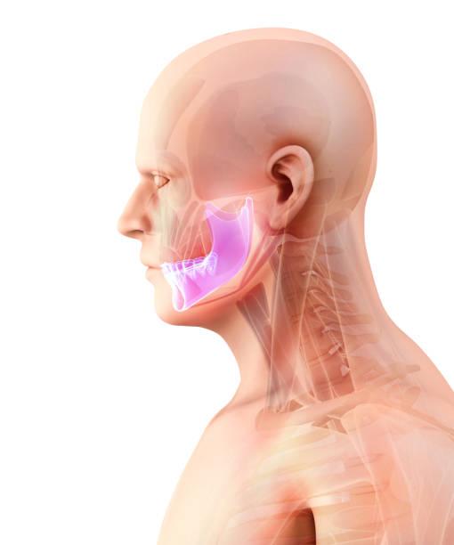 illustration 3d de mandible, concept médical. - dents des animaux photos et images de collection