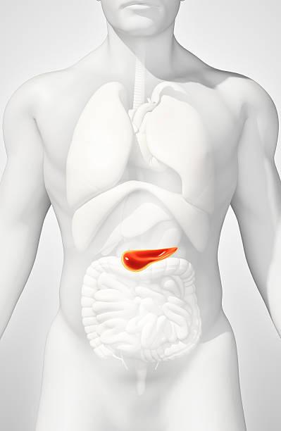 3d-darstellung eines bauchspeicheldrüse - teil verdauungssystem. - männliche körperkunst stock-fotos und bilder