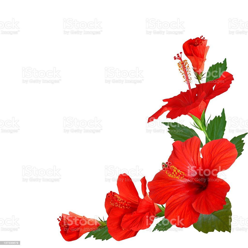 Illustration of red hibiscus flowers in corner on white stock photo