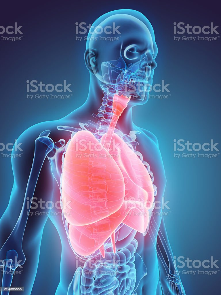 3D illustration of Respiratory System. stock photo