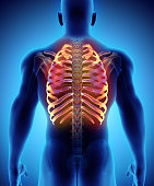 istock 3D illustration of Ribs, medical concept. 636682152