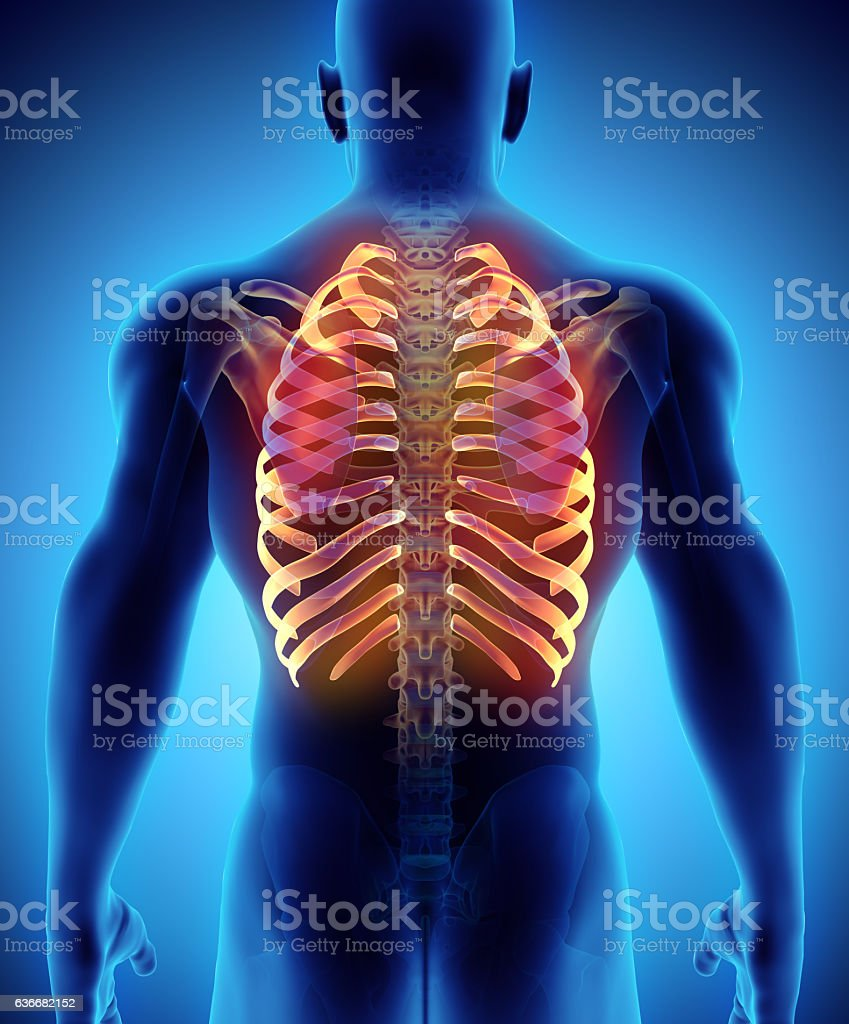 3D illustration of Ribs, medical concept. stock photo