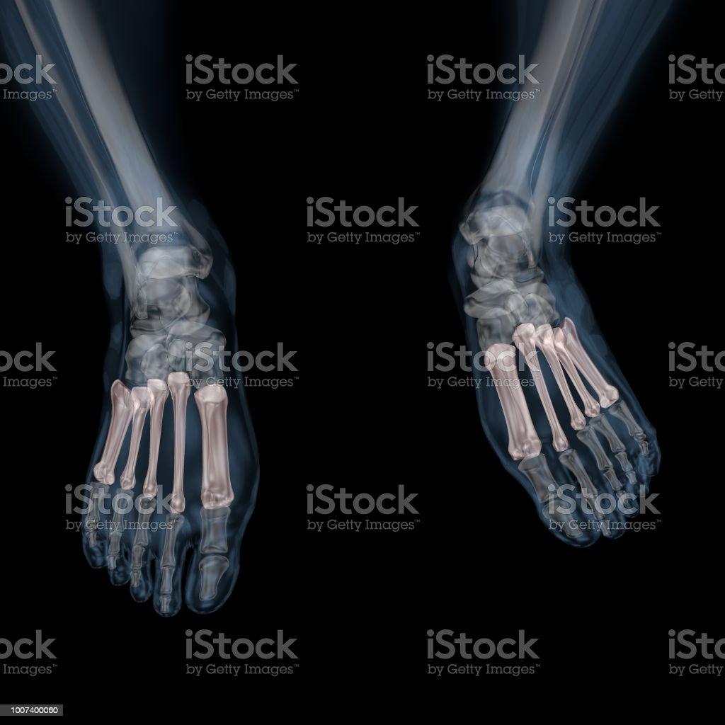 3d Abbildung Des Skeletts Mittelfußknochen Stock-Fotografie und mehr ...