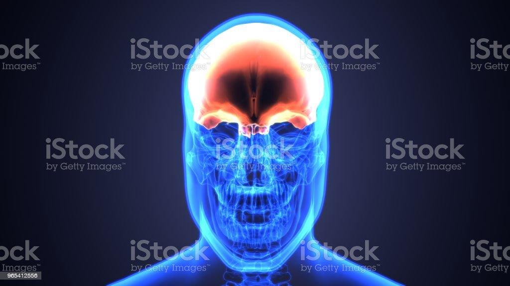 Illustration 3D de l'anatomie du crâne - partie du concept médical squelette humain. - Photo de Adulte libre de droits