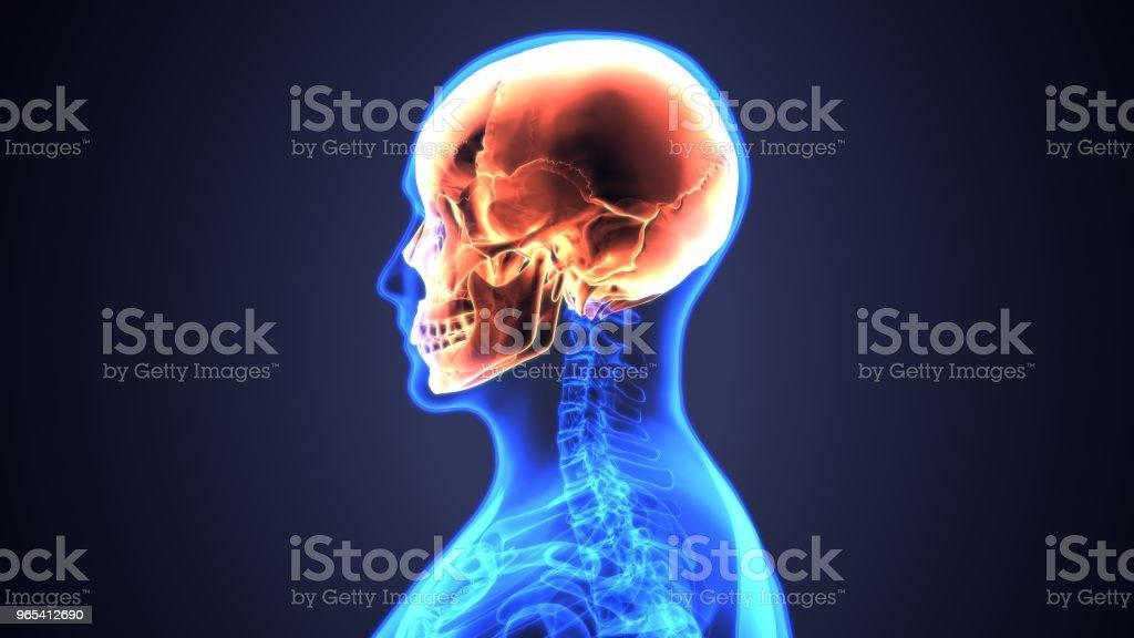 두개골 해부학-인간의 뼈대 의료 개념의 일부의 3D 그림. - 로열티 프리 3차원 형태 스톡 사진