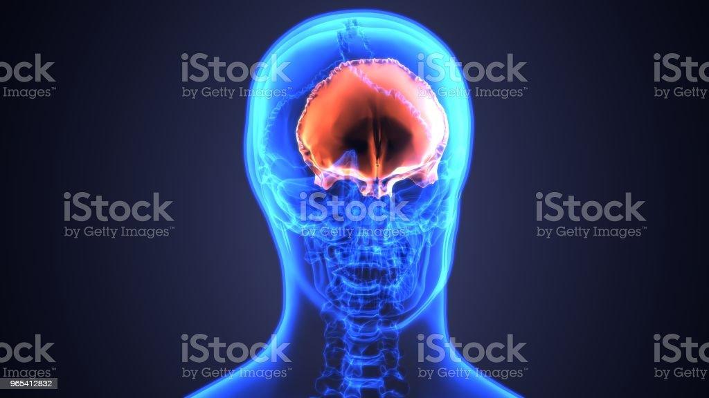 3d Illustration Of Skull Anatomy Part Of Human Skeleton Medical ...