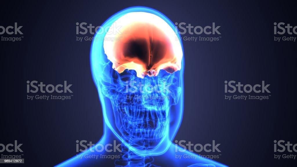 3D Darstellung der Schädel Anatomie - Teil des menschlichen Skeletts medizinisches Konzept. - Lizenzfrei Anatomie Stock-Foto