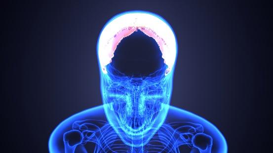 두개골 해부학인간의 뼈대 의료 개념의 일부의 3d 그림 3차원 형태에 대한 스톡 사진 및 기타 이미지