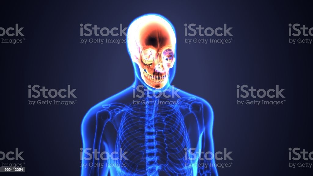 3D illustration of skull anatomy - part of human skeleton medical concept. royalty-free stock photo