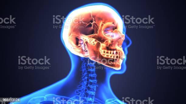 Foto de Ilustração 3d Da Anatomia Do Crânio Parte Do Conceito Médico De Esqueleto Humano e mais fotos de stock de Adulto