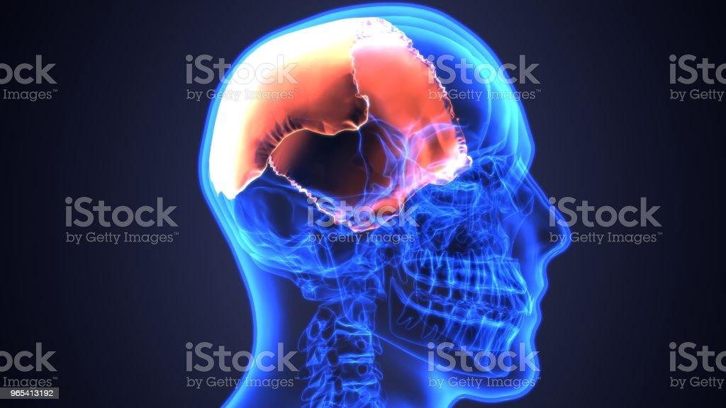 3D illustration of skull anatomy - part of human skeleton medical concept. zbiór zdjęć royalty-free
