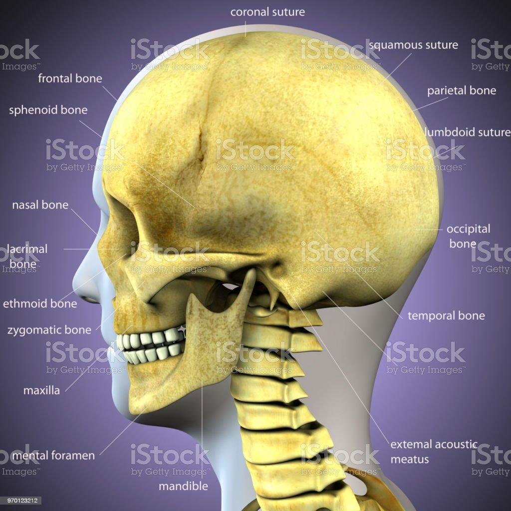 3d Illustration Of Skull Anatomy Part Of Human Skeleton Medical