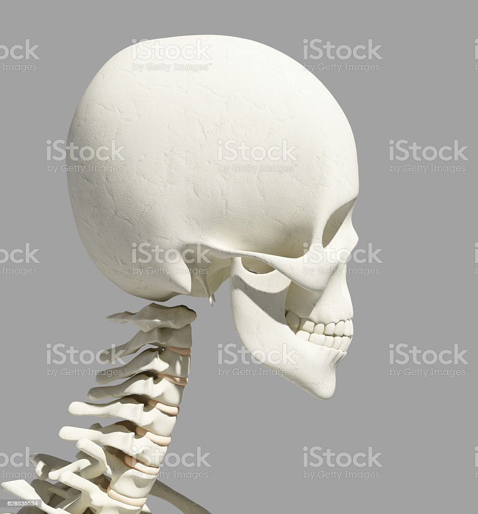 3d Illustration Of Skull Anatomy Part Of Human Skeleton Stock Photo