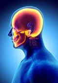 istock 3D illustration of skull anatomy - part of human skeleton. 636682992