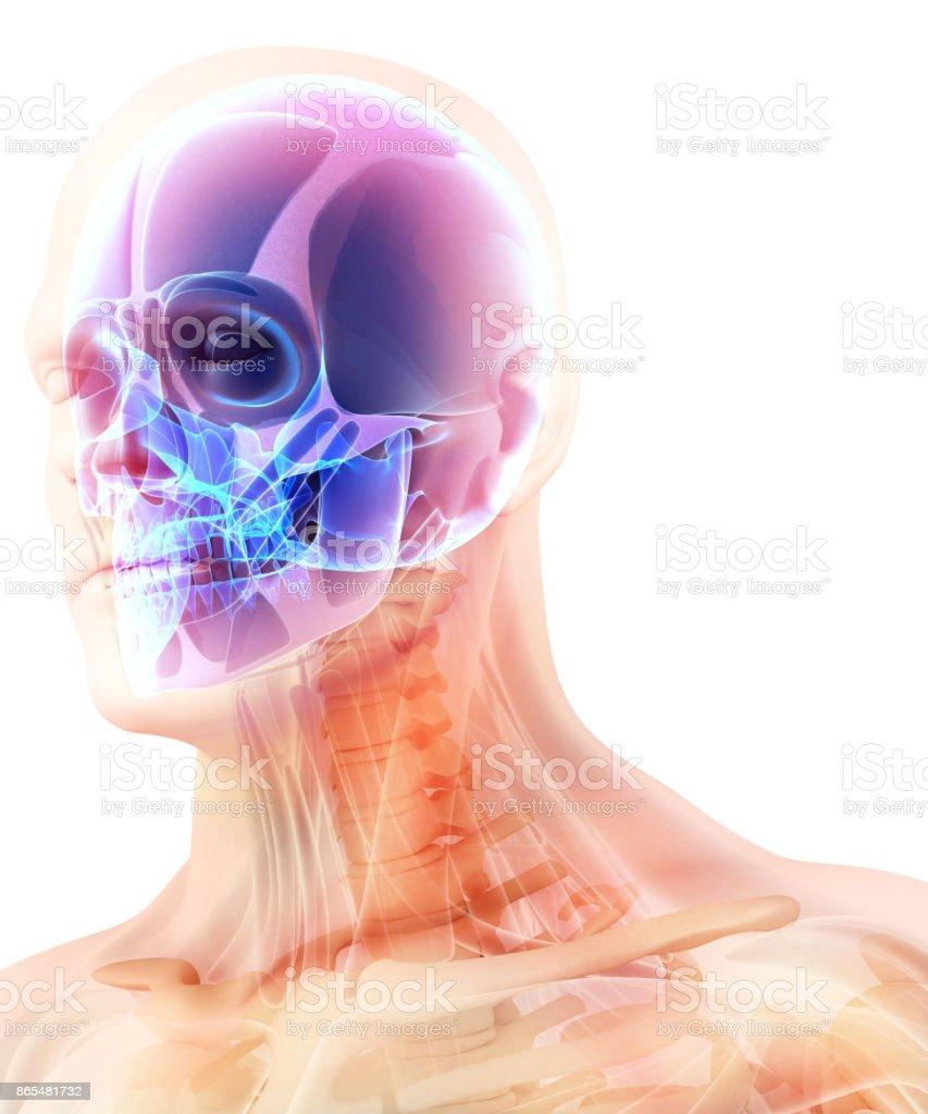 3D illustration of skull anatomy - part of human skeleton. stock photo