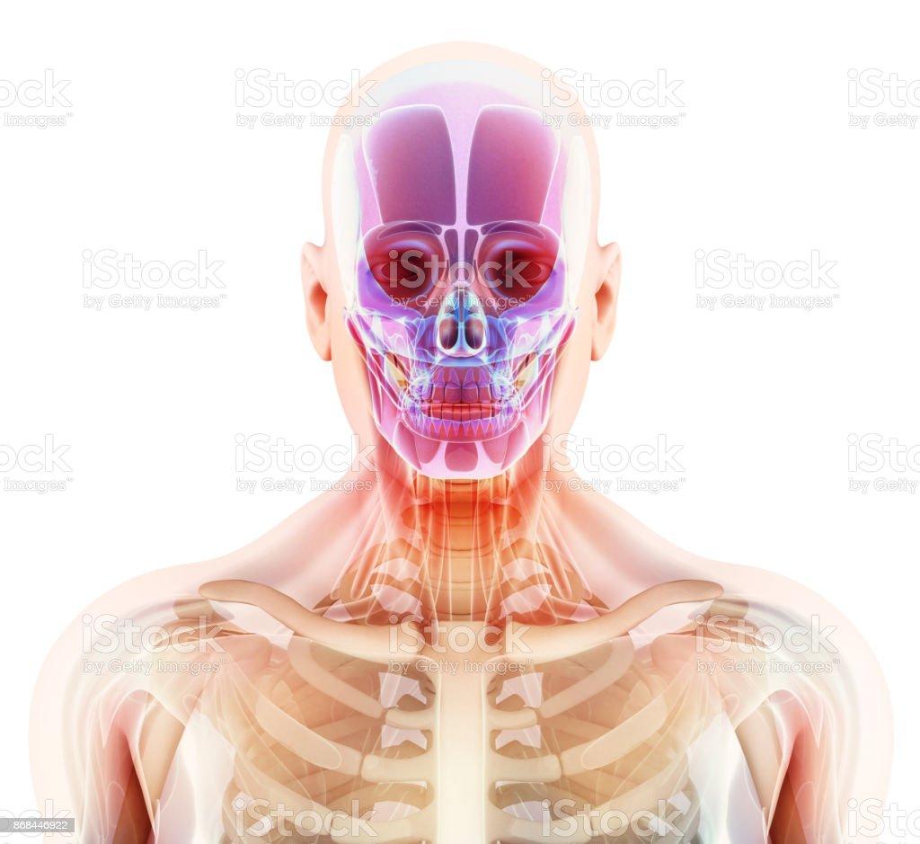 3ddarstellung Eines Schädel Anatomie Teil Des Menschliches Skelett ...
