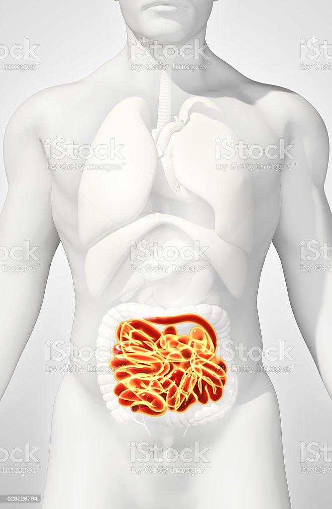 3D illustration of Small Intestine. stock photo