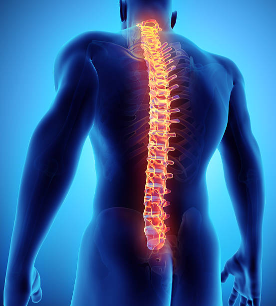 3D illustration of Spine, medical concept. 3D illustration of Spine - Part of Human Skeleton. human vertebra stock pictures, royalty-free photos & images