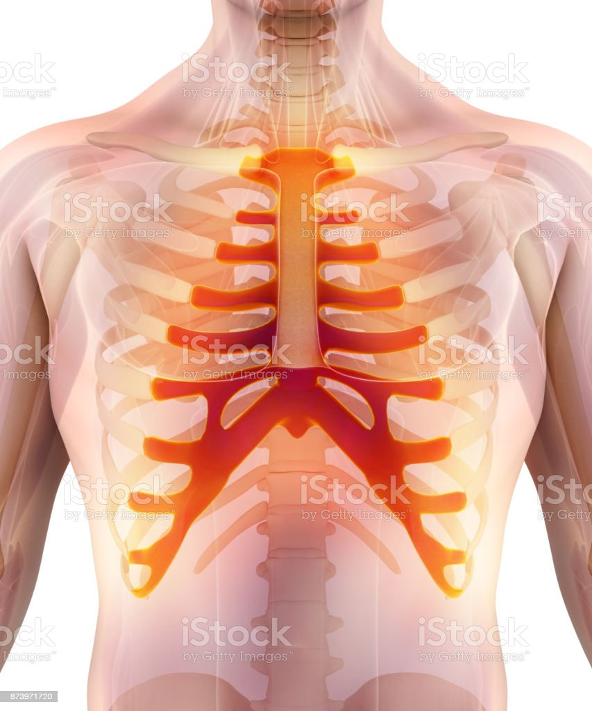 3D illustration of Sternum, medical concept. stock photo