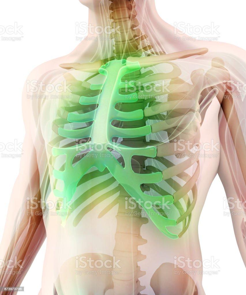 Fotografía de Ilustración 3d Del Esternón Concepto Médico y más ...