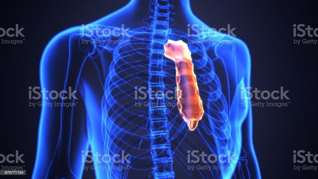 3d Illustration Of Sternum Part Of Human Skeleton Stock Photo More