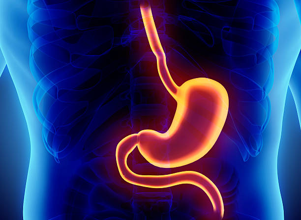 3D illustration of Stomach. stock photo