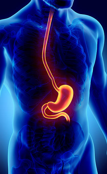 3d illustration of stomach. - esophagus stock photos and pictures