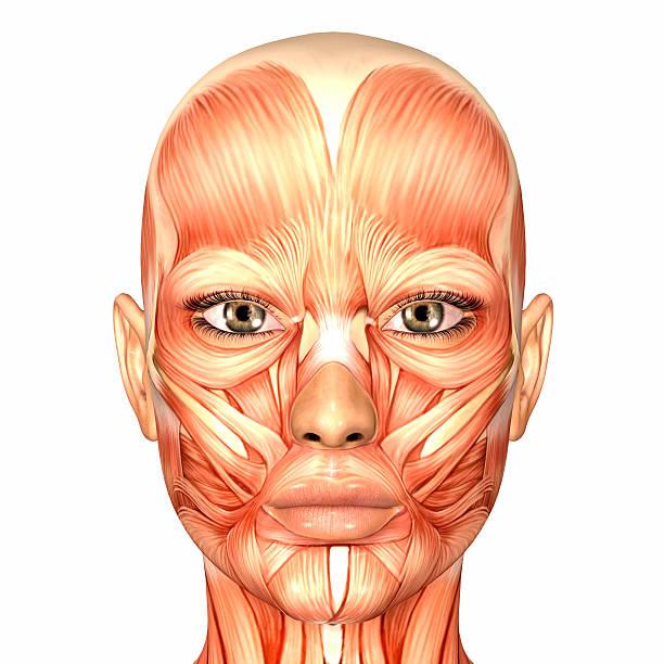 Illustration de l'anatomie d'une femme visage - Photo