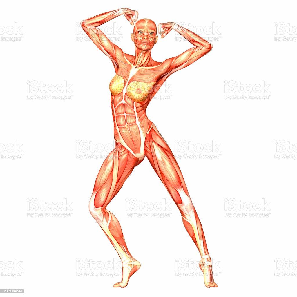 Illustration Der Anatomie Der Weibliche Körper Stock-Fotografie und ...