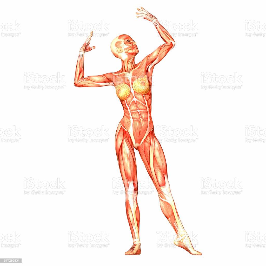 Illustration Of The Anatomy Of The Female Body Stock Photo Istock