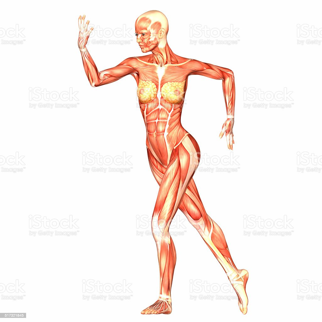 Illustration Of The Anatomy Of The Female Body Stock Photo More