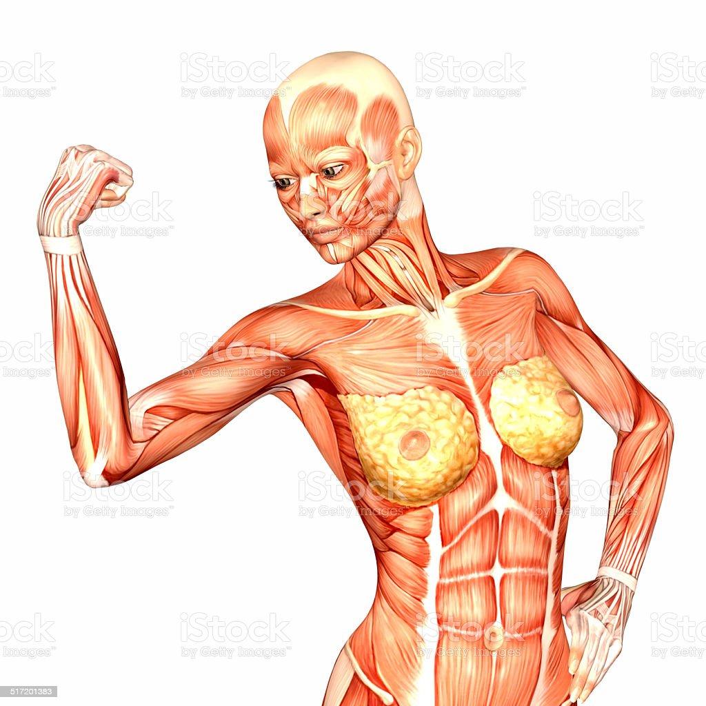 Fotografía de Ilustración De La Anatomía Humana De La Mujer Torso y ...