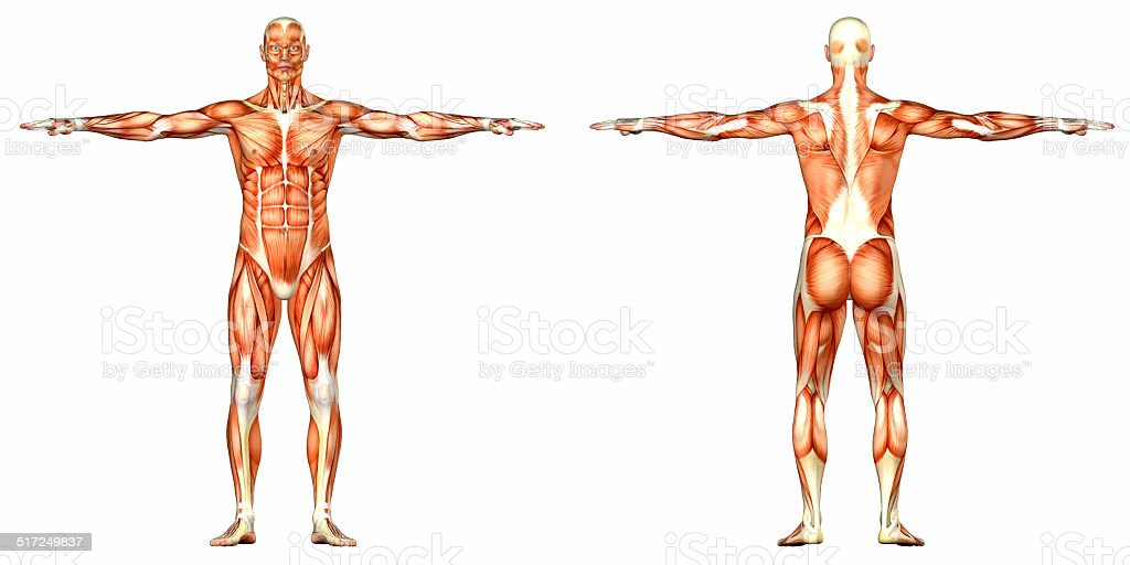 Illustration Of The Anatomy Of The Male Body Stock Photo More