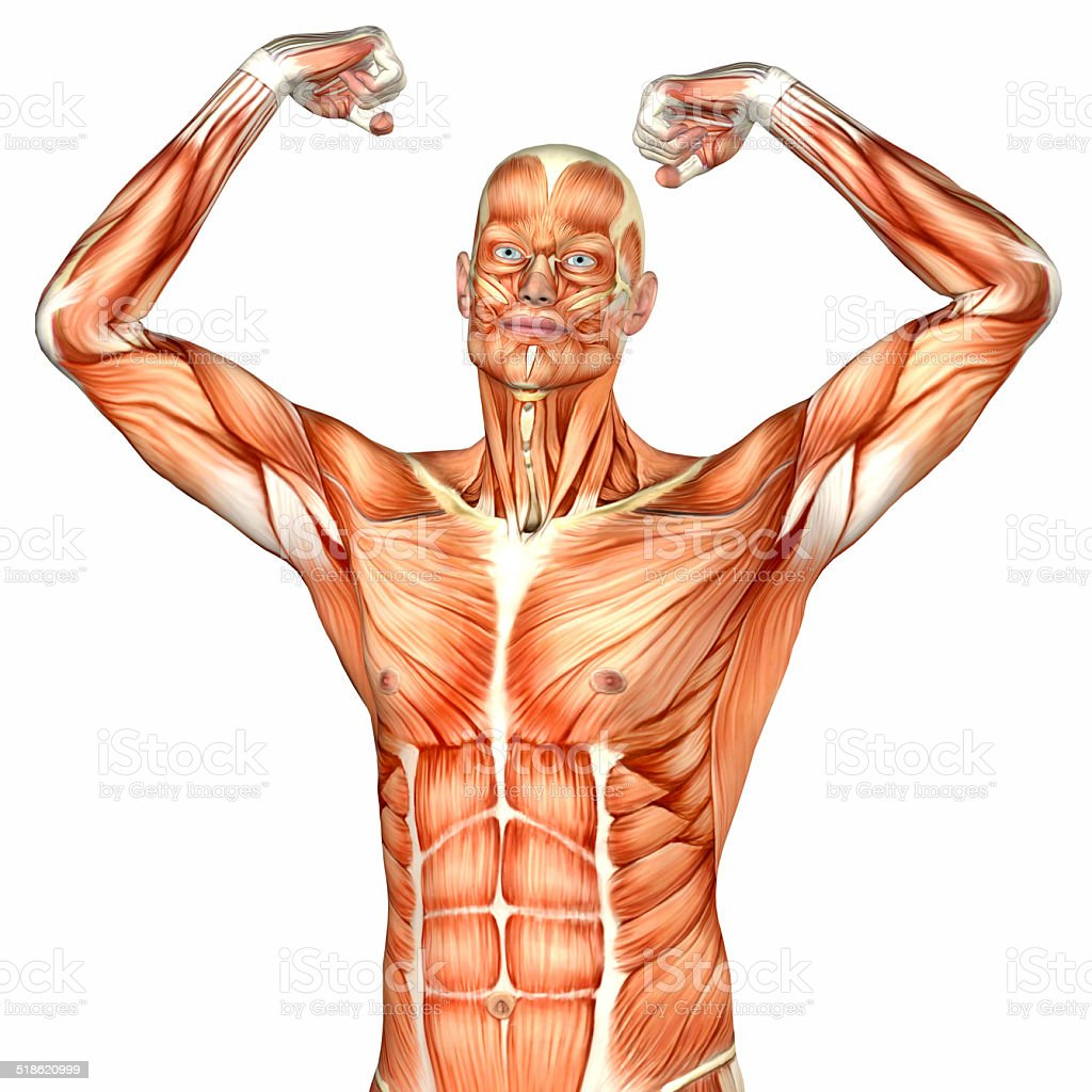 Illustration Of The Anatomy Of The Male Torso Stock Photo More