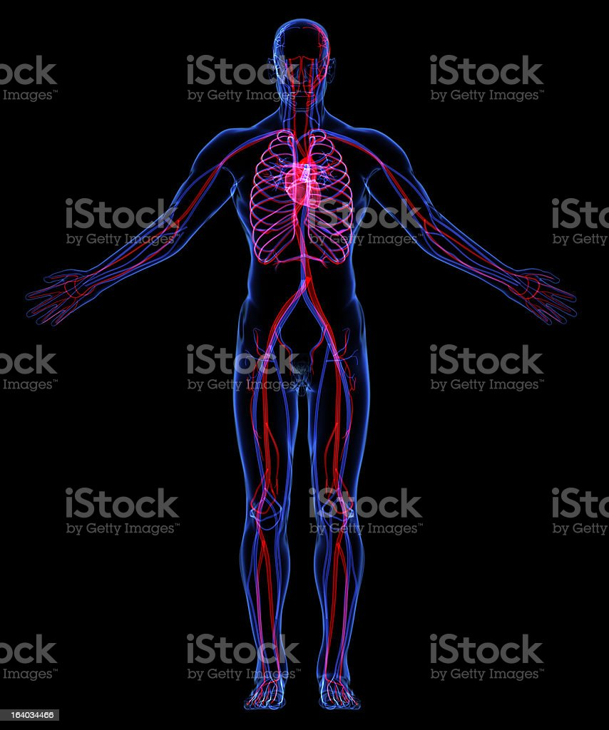 Illustration of the human body circulatory system stock photo