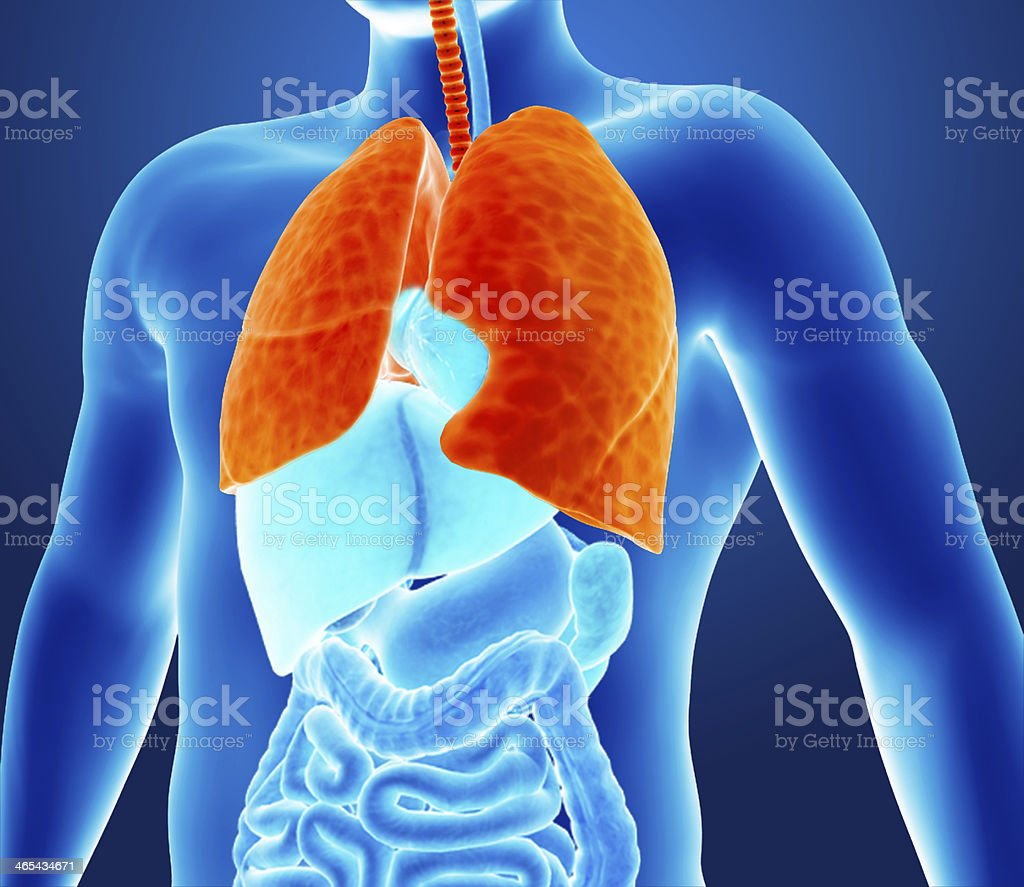 Illustration Of The Inside Of A Human With Highlighted Lungs Stock