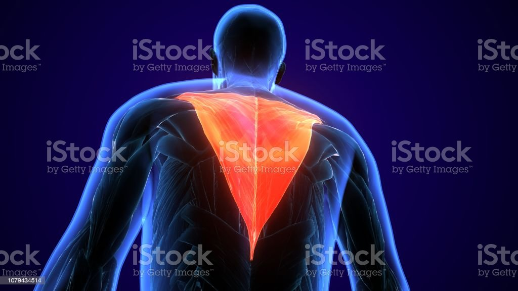 The trapezius is a large paired surface muscle that extends...