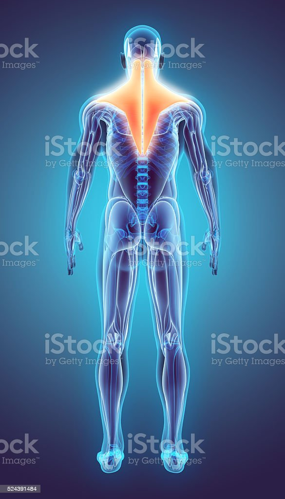 3D illustration of Trapezius. stock photo