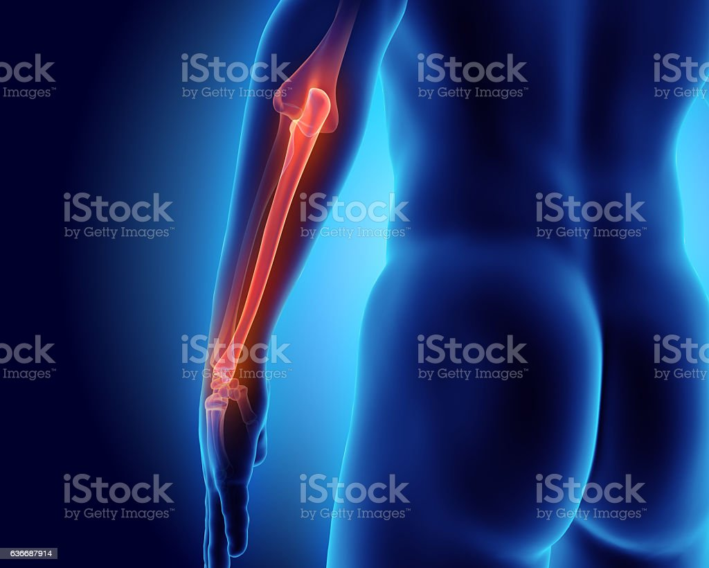 3D illustration of Ulna, medical concept. stock photo