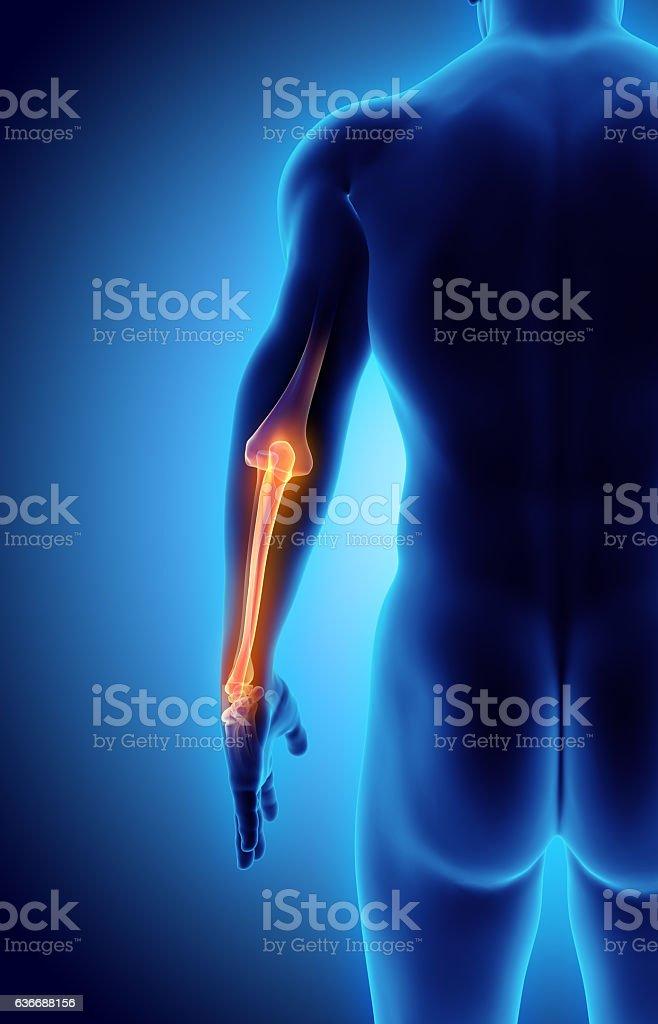 Ilustración En 3d De Cúbito Concepto Médico - Stock Foto e Imagen de ...