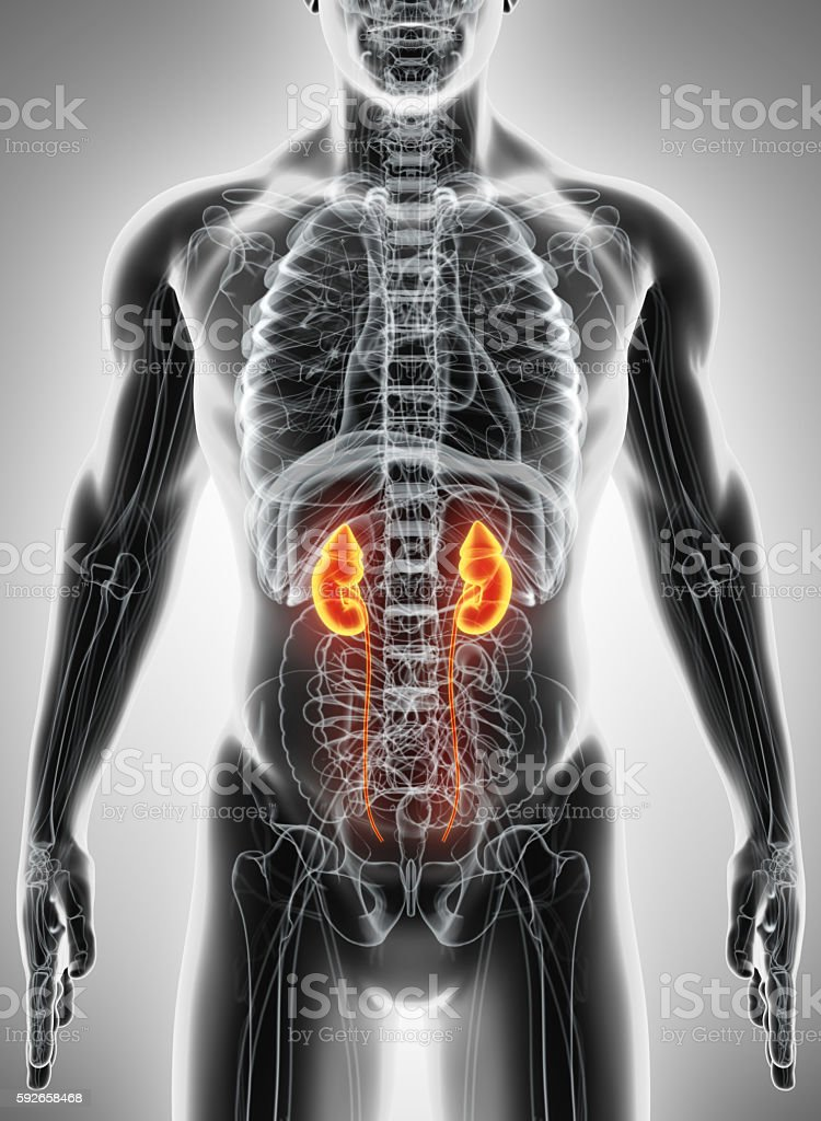 3D illustration of Urinary System, medical concept. stock photo