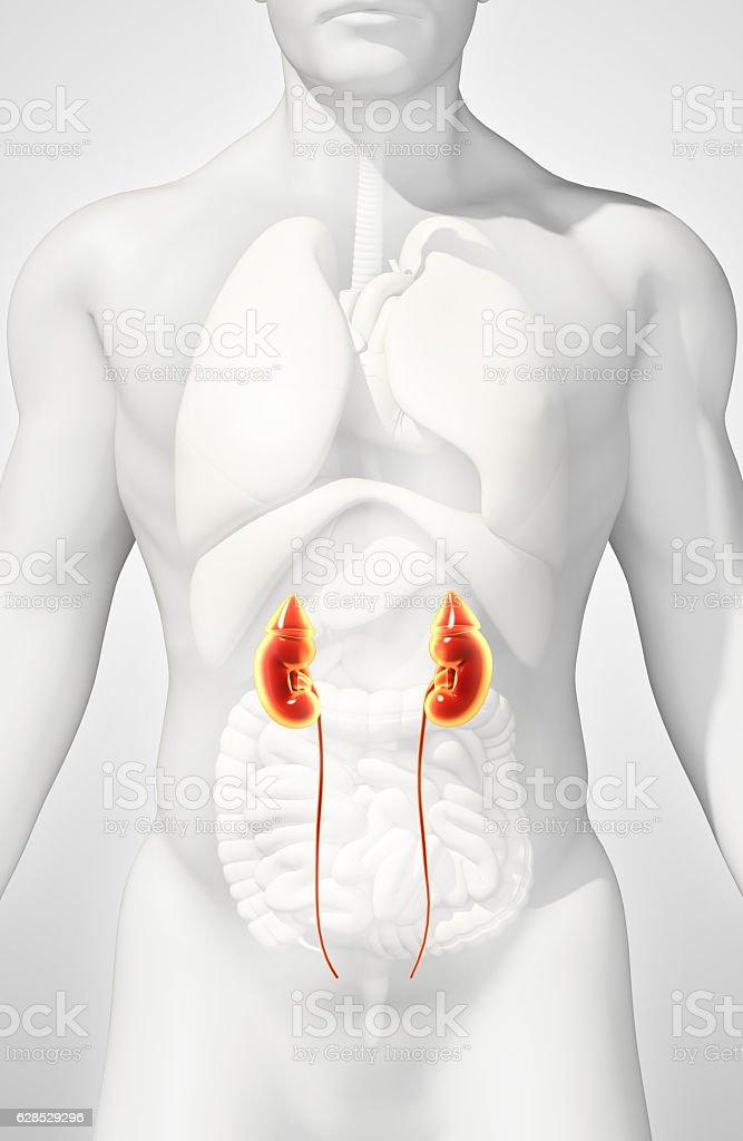 3 D Ilustración De Sistema Urinario Concepto Médico - Stock Foto e ...