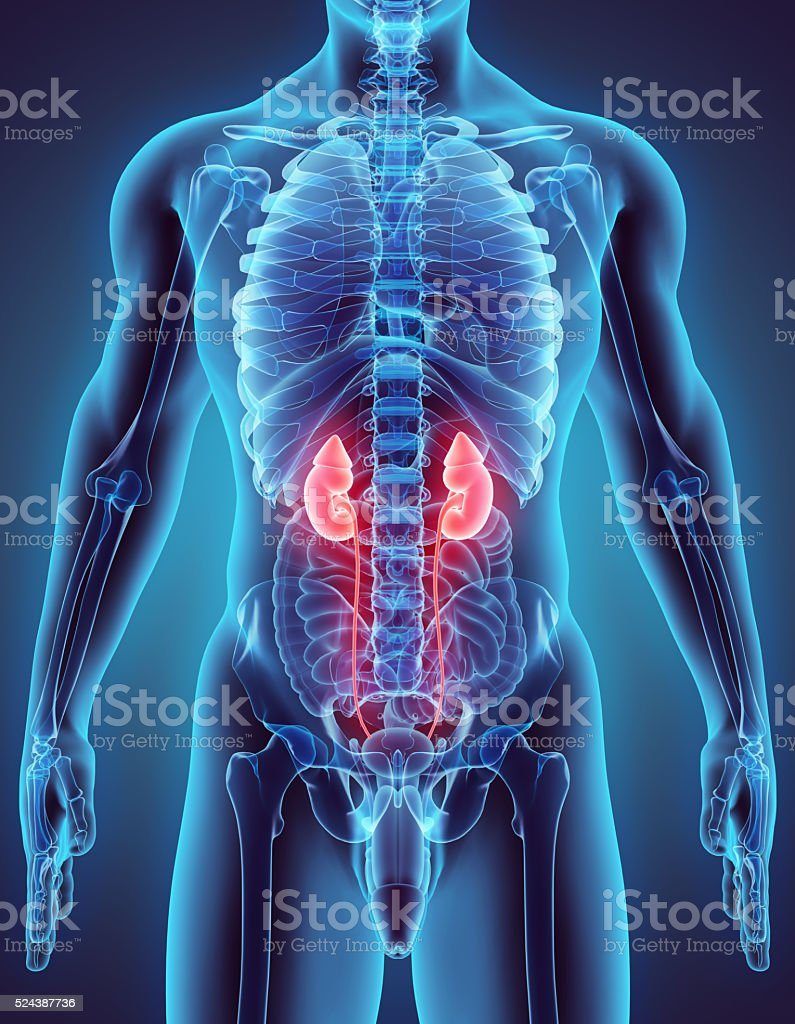 3D illustration of Urinary System. stock photo