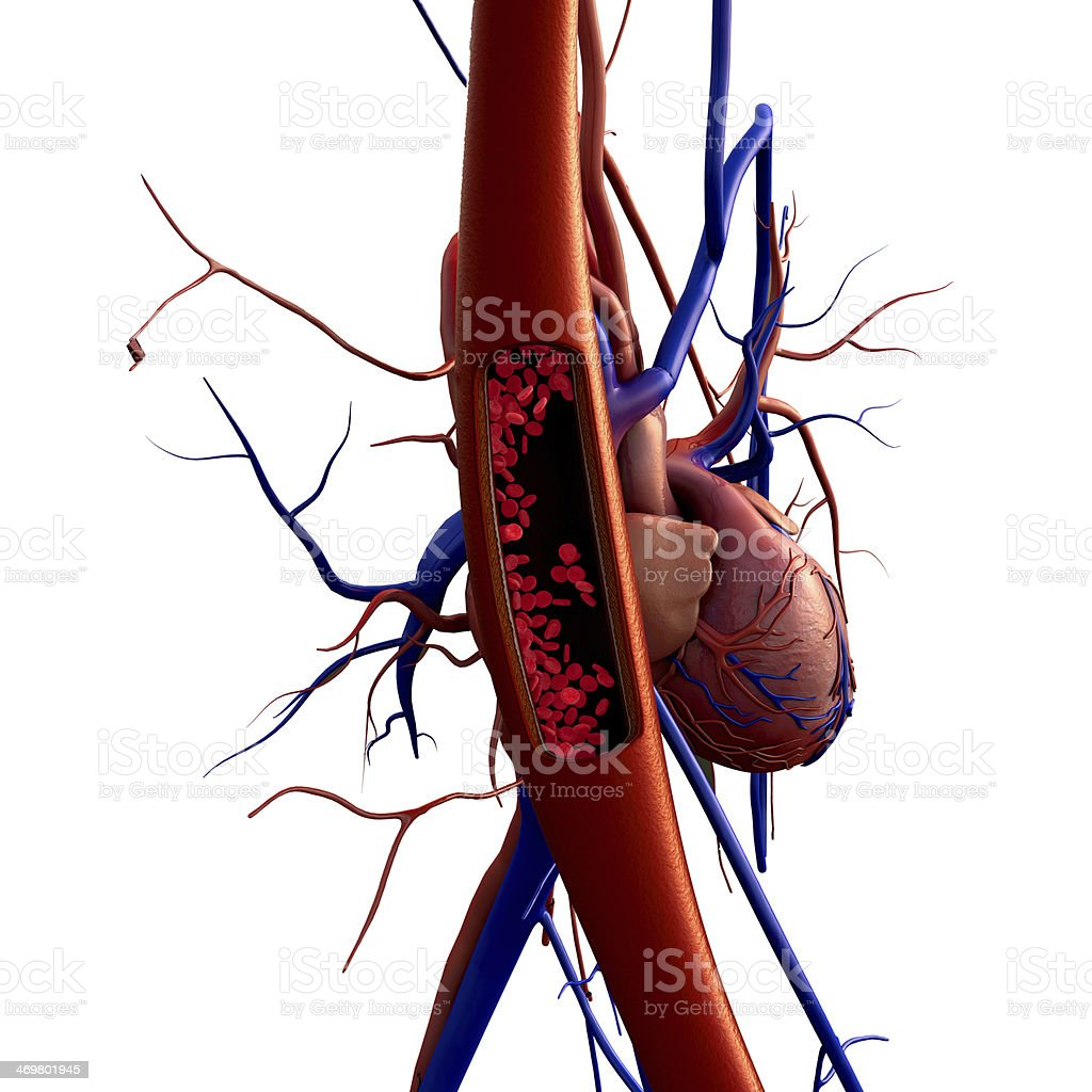 Illustration of veins and arteries showing blood cells stock photo