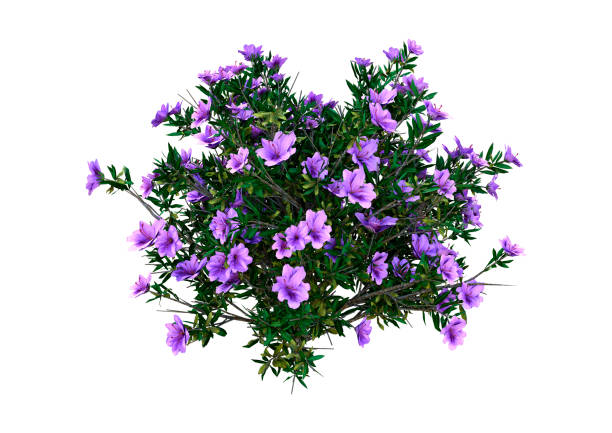 3D illustration rhododendron plant on white 3D rendering of a rhododendron plant with purple flowers isolated on white background azalea stock pictures, royalty-free photos & images