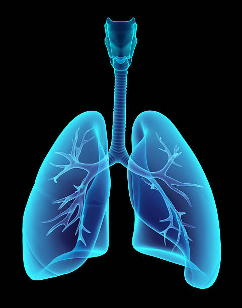 3D illustration X-ray transparent lungs. 3D illustration X-ray transparent lungs, medical concept. lung stock pictures, royalty-free photos & images