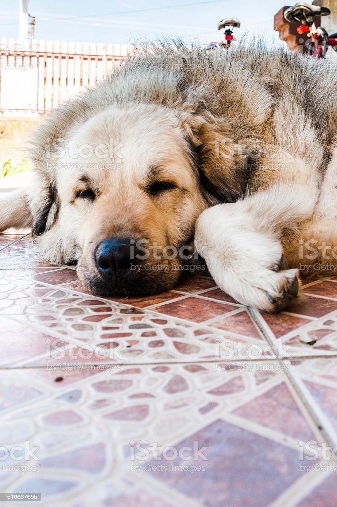 Illyrian Sheepdog stock photo